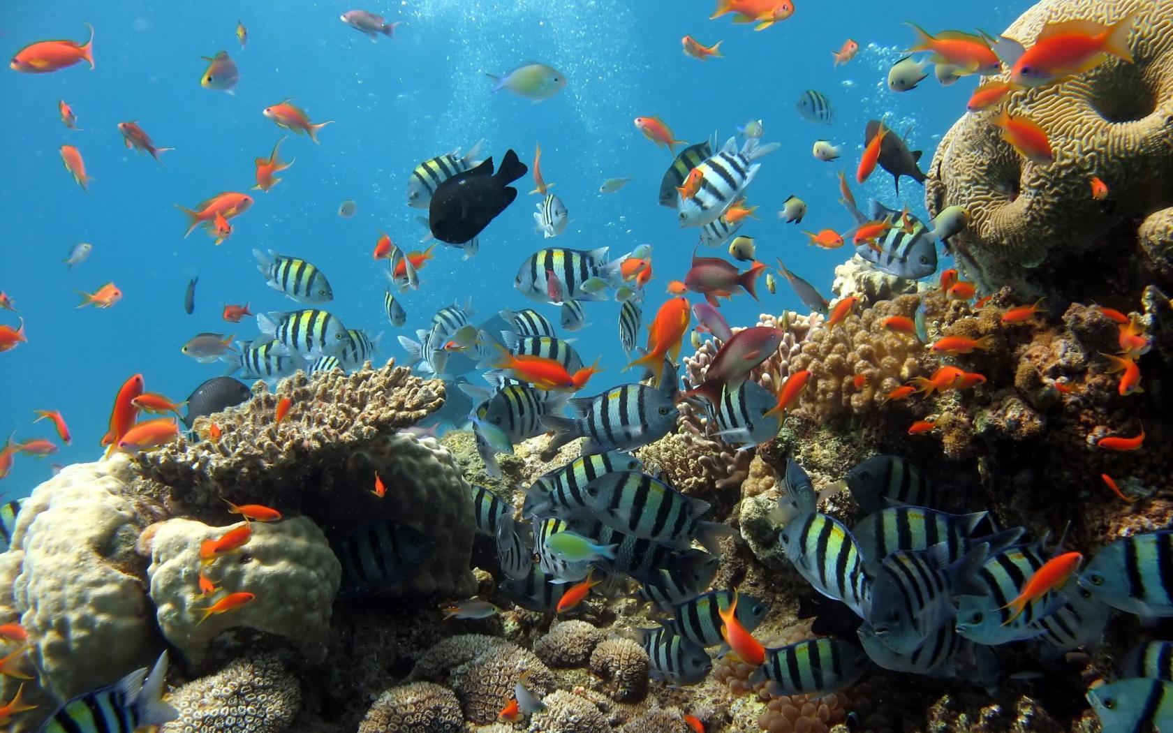 Chiêm ngưỡng vẻ đẹp san hô biển Phú Quốc – Kiên Giang Dường như nhờ nước trong lành khiến san hô biển Phú Quốc (Kiên Giang) rực rỡ s… | Cá nhiệt